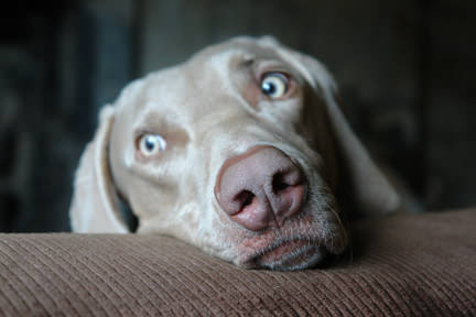 close up photo of Fudge the Weimaraner