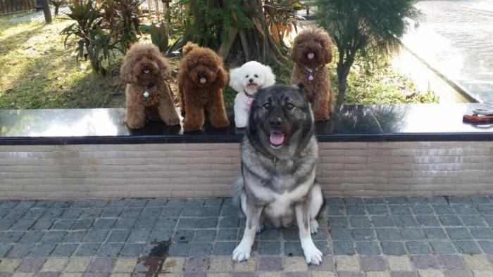 牠們亦可與其他小型狗隻一起玩耍,只要主人懂得訓練,任何狗隻都可以很友善。 圖片由香港高加索會提供