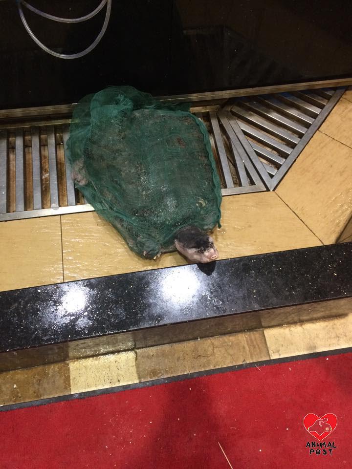 職員稱牠是山瑞鱉。山瑞鱉屬受保護頻危動物。(本報記者 攝)