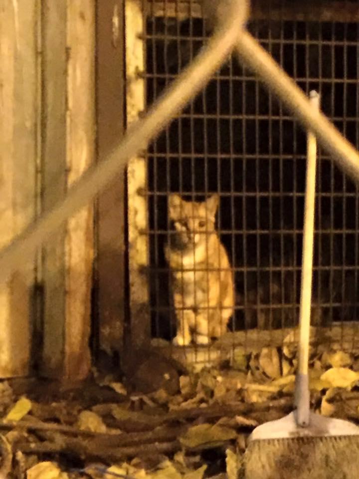 3月6日,最後一隻「留守」衙前圍村的貓獲救出。