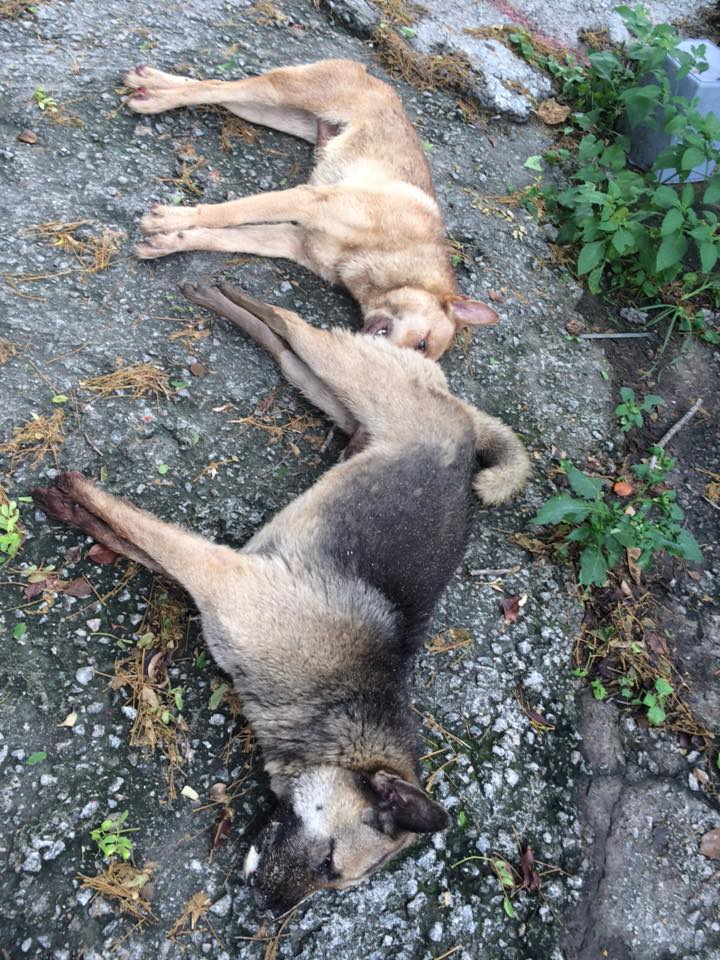 兩狗中毒慘死
