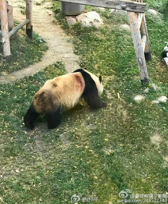 網民去年拍攝到蜀蘭背部受傷