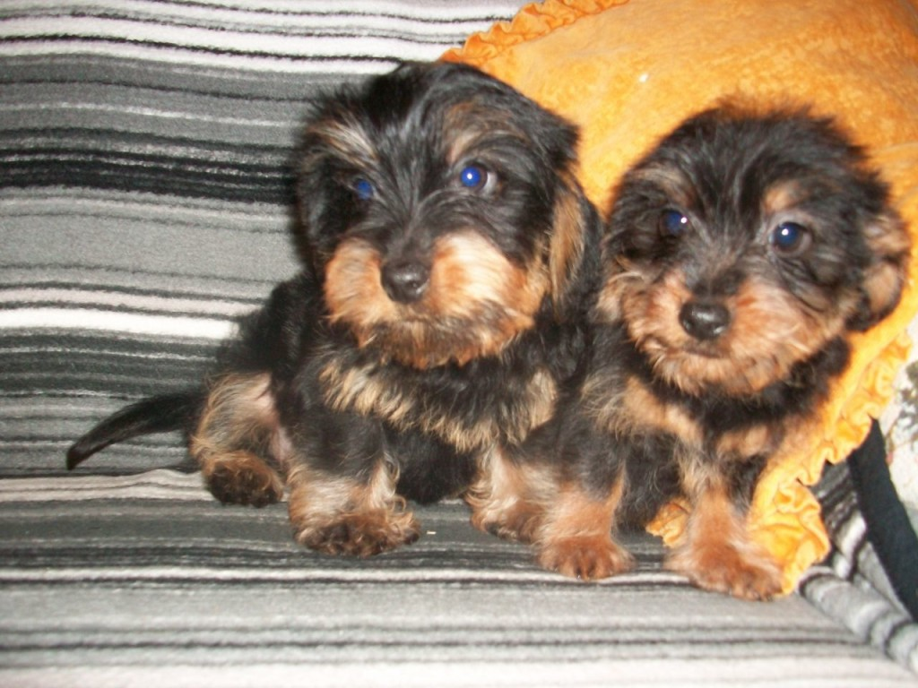 Fullsize Of Dachshund Yorkie Mix