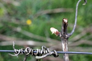 Chardonnay Bud break