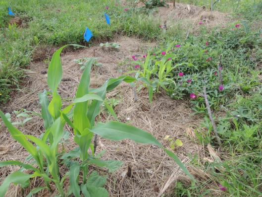 Corn with Beans Growing around the Mounds Week 2