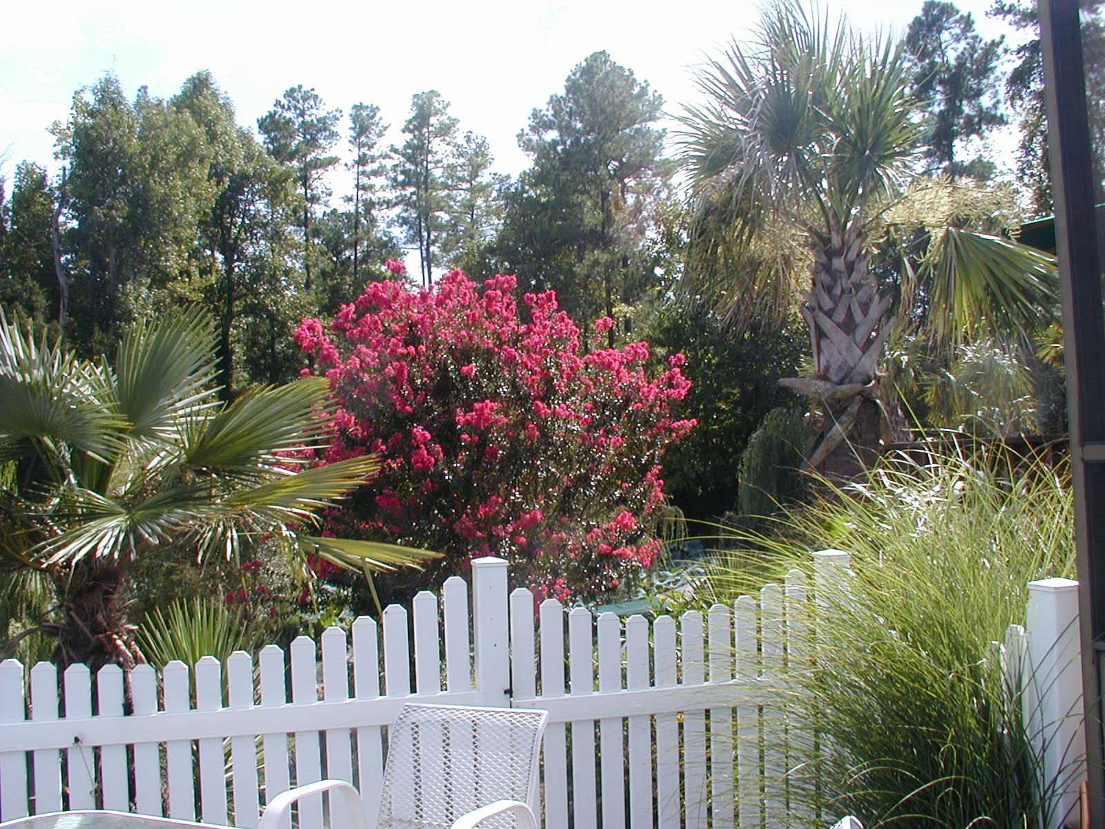Crape Myrtle Carolina Beauty Image