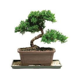 Grand Bonsai Green Mound Juniper Bonsai Homedepot Bonsai Green Mound Juniper Bonsai Lowes Vs Home Depot House Plants Home Depot Tropical House Plants curbed Home Depot House Plants