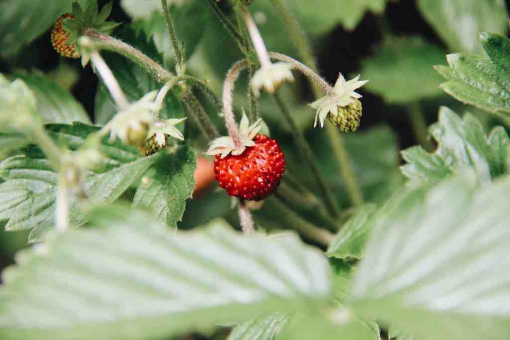how to grow strawberries indoors from seeds