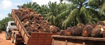 Honduras African Palm