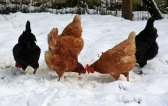 Chickens in winter.