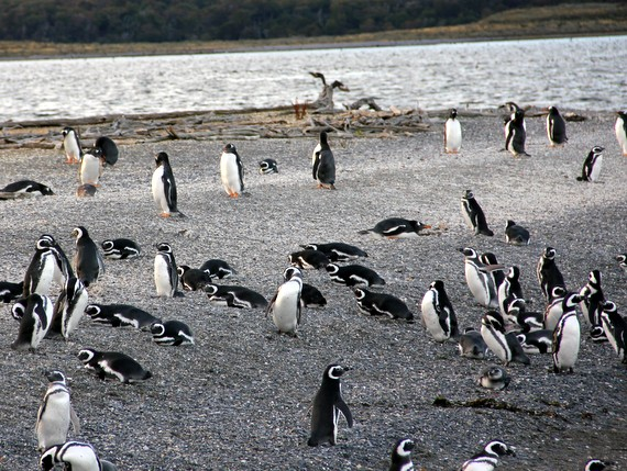 Magellanic penguins and Gentoo penguins