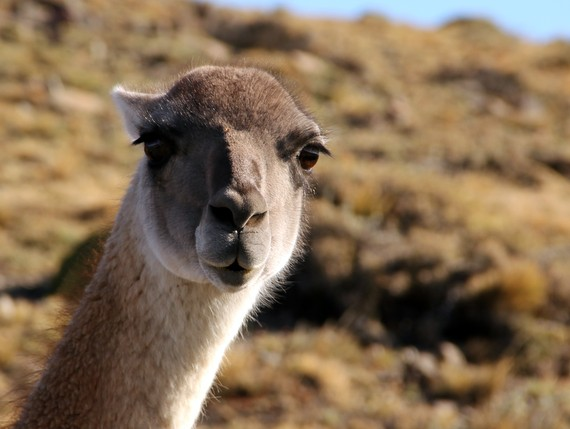 Vicuña in Patagonia up close