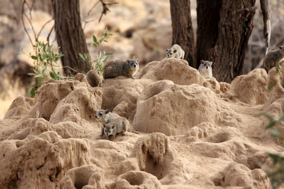 Rock Hyrax sighting with Joy's Camp in Samburu