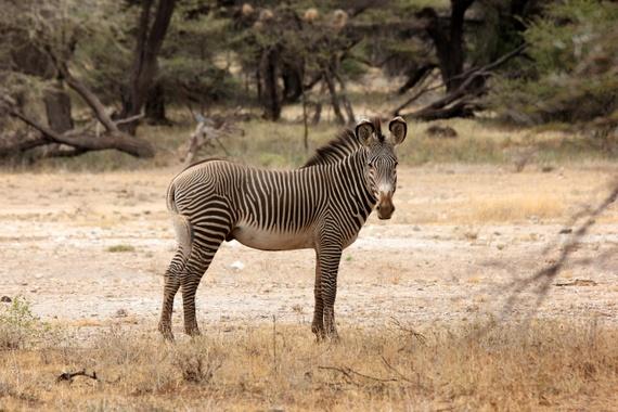 endangered Grevy's zebra