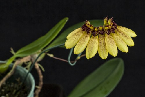 Bulbophyllum Sunshine Queen