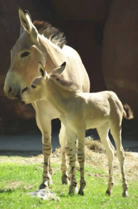 A Somali wild ass filly foal with her dam. © Saint Louis Zoo