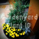 Gardenyard Plant ID: What's In The Reclaimed Barrel Planter?