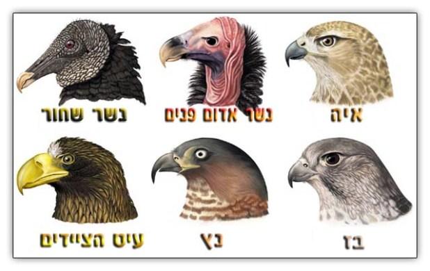 עופות דורסים