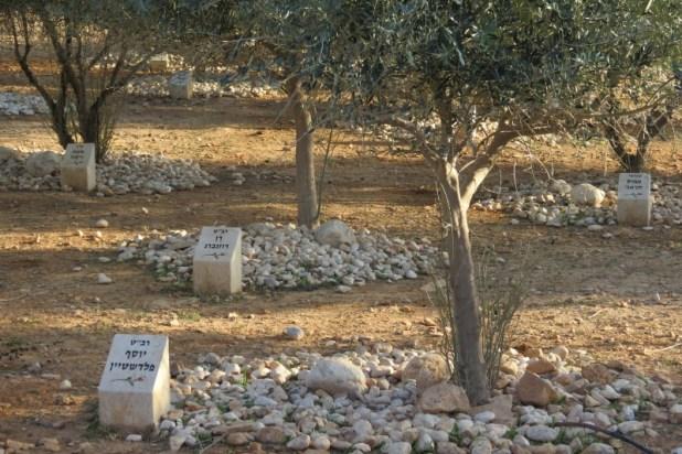 עצי הזית