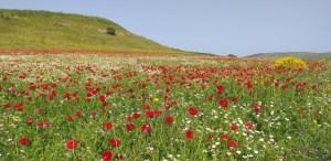 תלל חנתון - פרחי אביב
