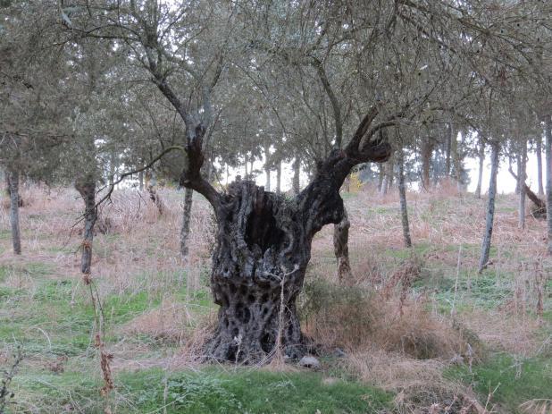 עצי זית עתיקים - כפר לוביה