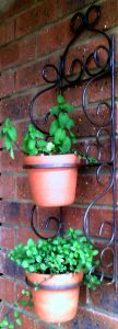 Planting mint in a hanging pot for decoration and control.