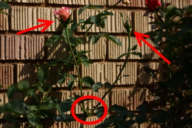 How to prune roses to help them grow bushy and flower more