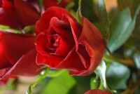 Time for Pruning your Roses