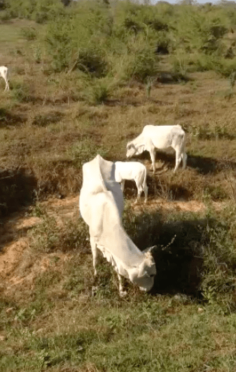 Indian Cows in Sri Lanka