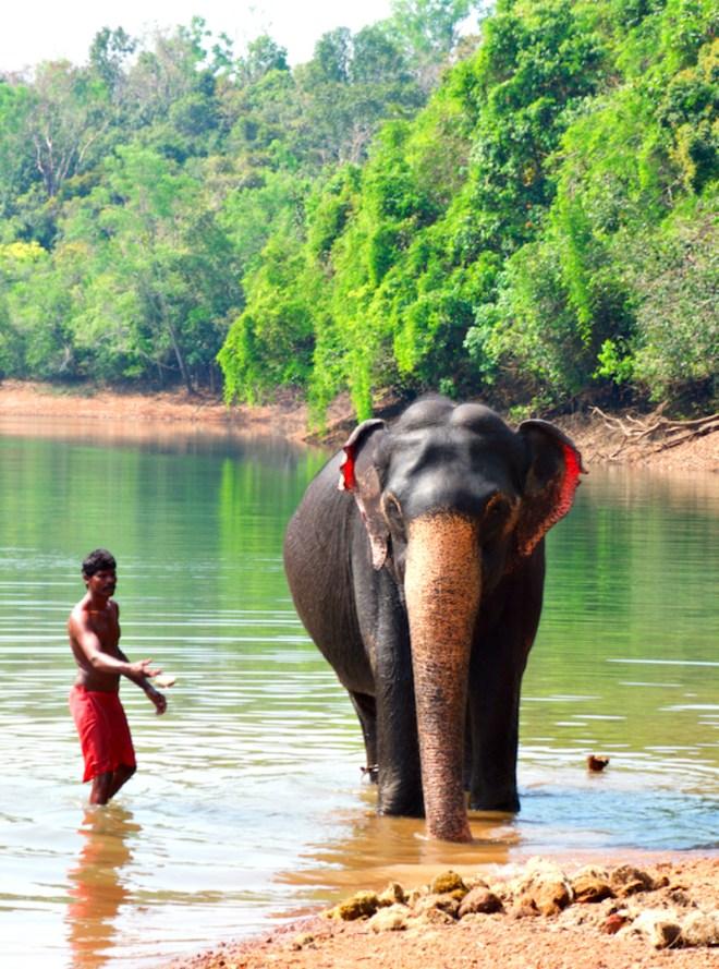 Elephant wash in Kappukadu