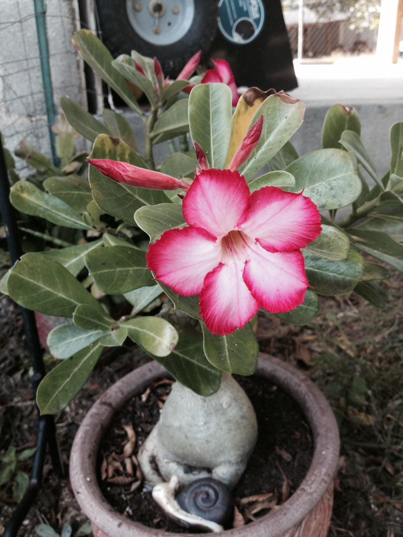 Relieving Identify My Ask Judy Houseplant Desert Rose Careers Desert Rose Care Yellow Leaves houzz 01 Desert Rose Care