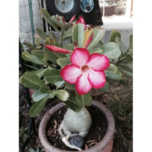 Medium Crop Of Desert Rose Care