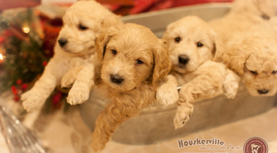 Dolly's Mini Goldendoodles (all now in their new homes)