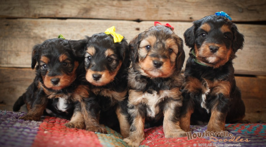 F1 Aussiedoodle Puppies Out of Shania
