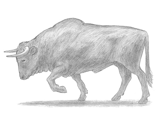 Home     How to Draw a Bull