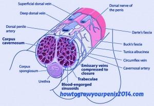 Struktur corpus spons