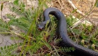 malta snakes
