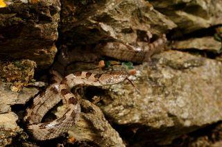 snakes in malta