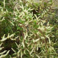 Plantas similares a la moringa