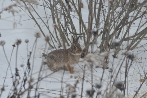 Image of rabbit under chokeberries in snowstorm