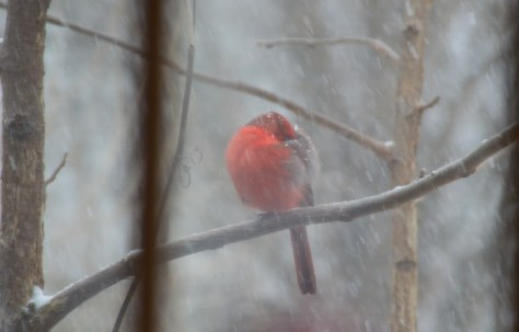 Image of cardinal in snowstorm