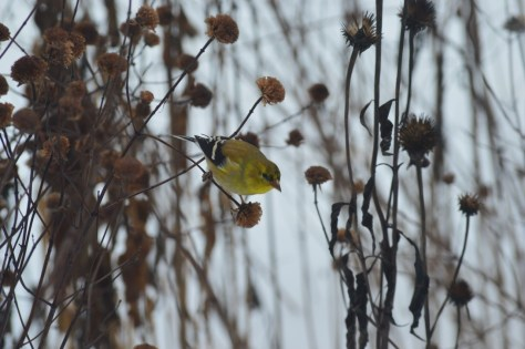 Image of goldfinch on bergamot