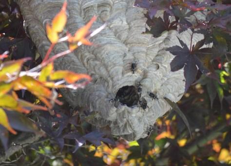 Baldfaced hornet's nest