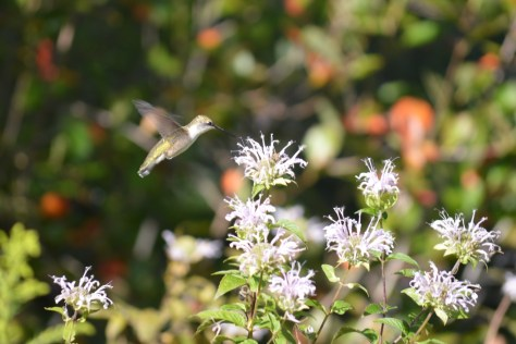 Image of hummingbird flying toward bee balm