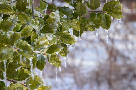 Image of American holly with icicles
