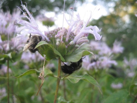 Image of sleeping bees on wild bergamot