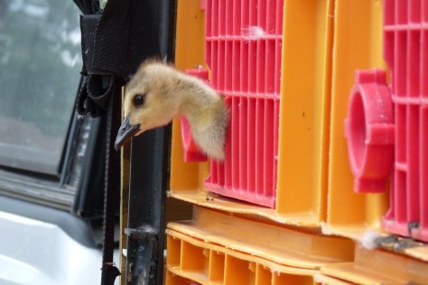 Image of Canada gosling in cage
