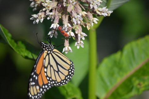 image of monarch and milkweed beetle
