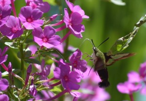 Image of hummingbird moth on phlox