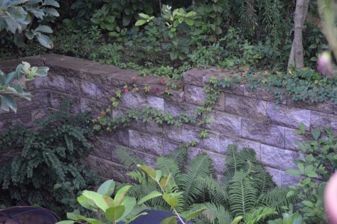 Image of Virginia creeper on retaining wall